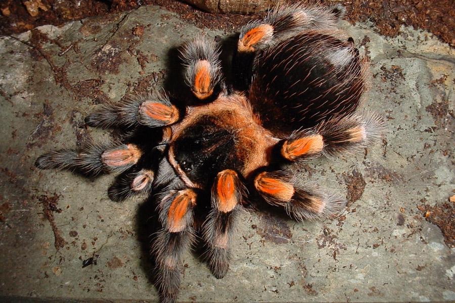Tarantulas at ANSP